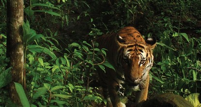 Indian officers mull using Calvin Klein perfume to capture killer tiger