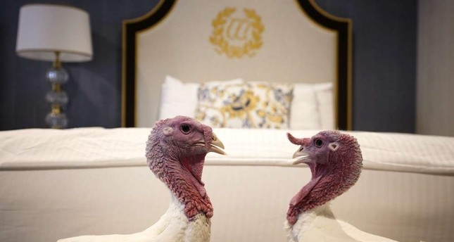 Bread and Butter, the national Thanksgiving turkey, and its alternate hang out in their room at the Willard Hotel after being introduced to members of the media during a press conference held by the National Turkey Federation, Washington, Nov. 25, 2019. (AFP)