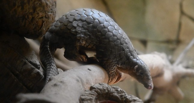 This picture taken on July 22, 2019 shows a Formosan Pangolin at the Taipei zoo. (AFP Photo)