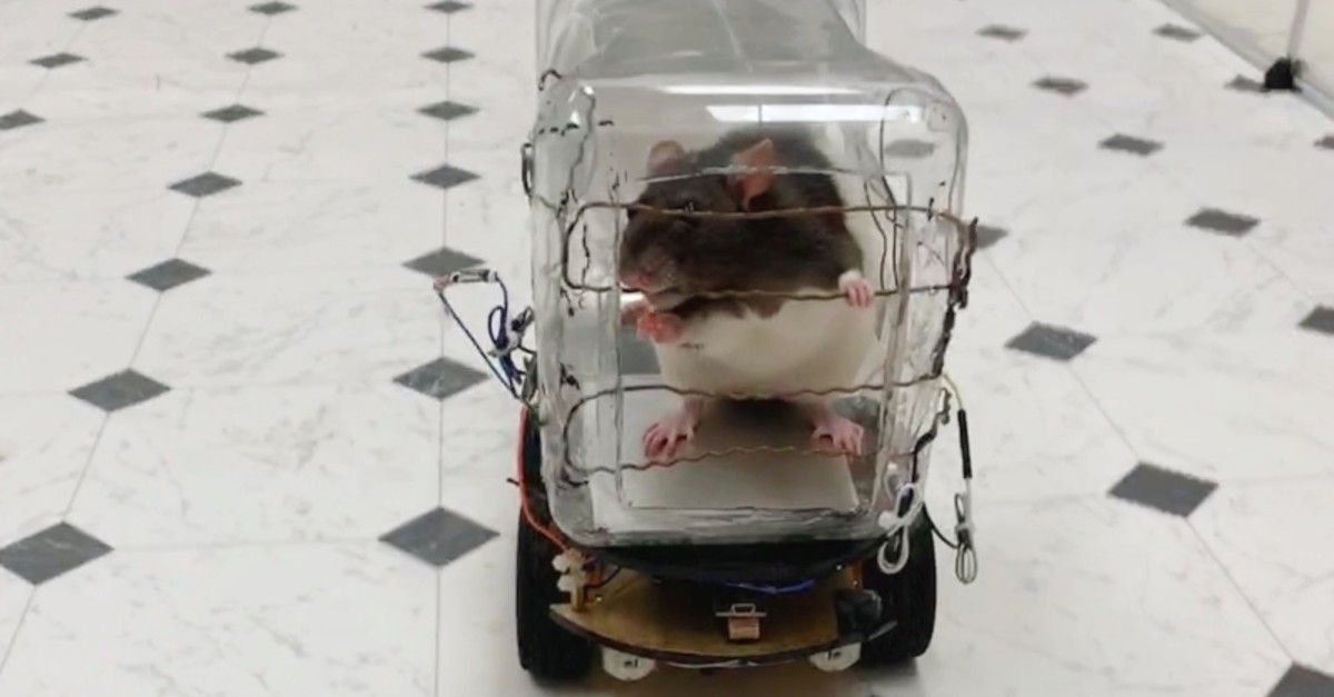 This image, courtesy of the University of Richmond, shows a lab rat eating a treat after driving the ,RatCar, on Sept. 10, 2019, in Virginia, U.S. (AFP Photo)