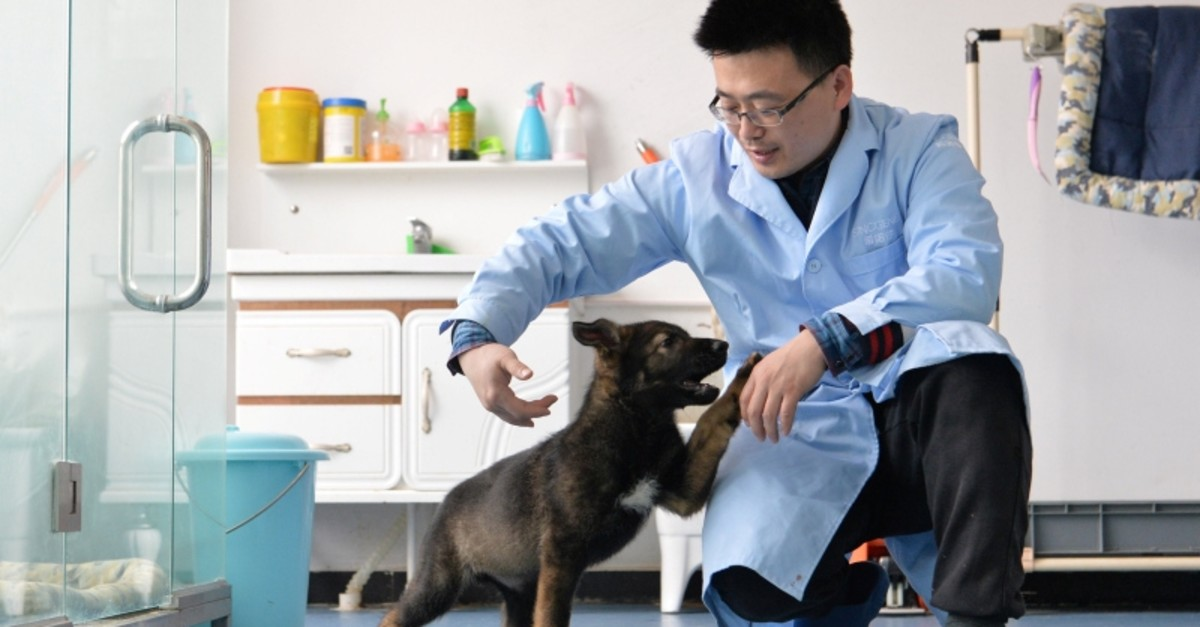 A researcher interacts with Kunxun, a dog cloned from a police dog, in Beijing, China February 22, 2019. Picture taken February 22, 2019. (REUTERS Photo)