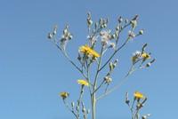 Erzincan's milkwort plant has antimicrobial features