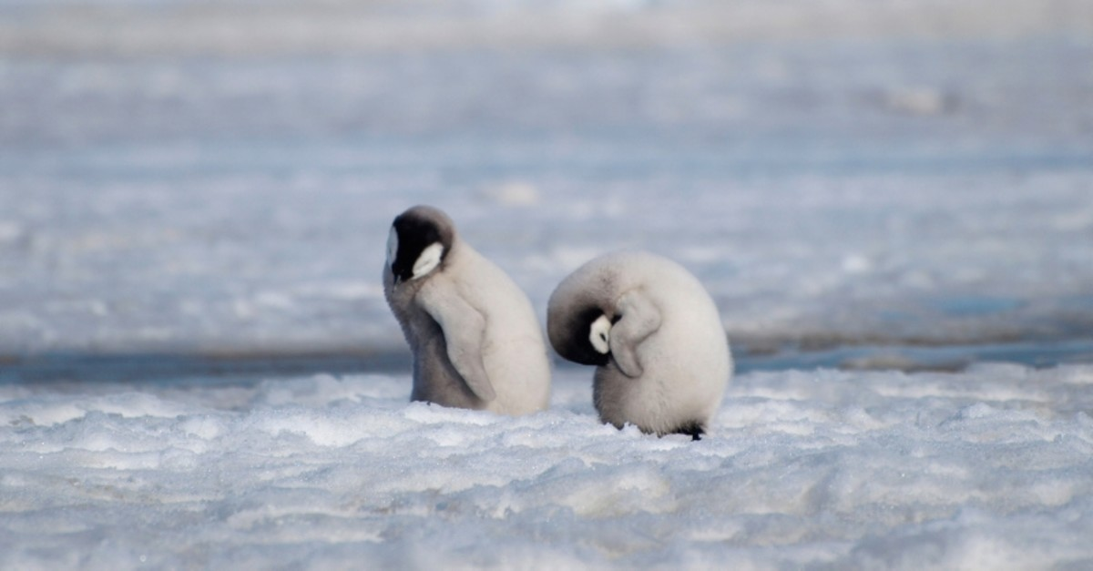 This 2010 photo provided by the British Antarctic Survey shows emperor penguin chicks at Antarctica's Halley Bay. (AP Photo)