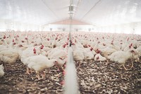 Turkey's poultry production rises in May