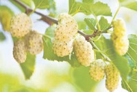 White mulberries: Healthy for humans, lucrative for entrepreneurs