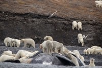 Sloth of 200 polar bears surprises tourists on Russian Arctic island