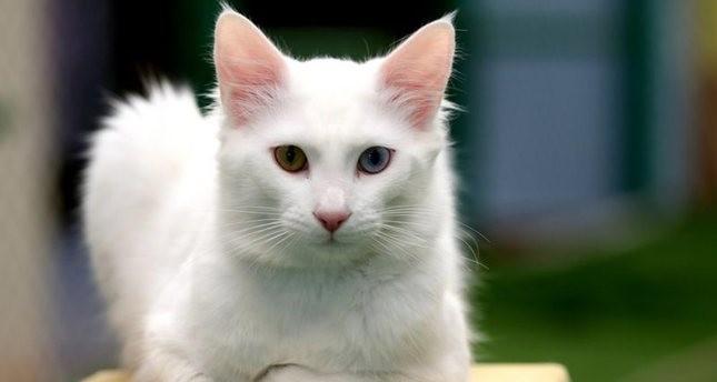 تطوير نظام مراقبة جديد لحماية قطط فان التركية من الانقراض