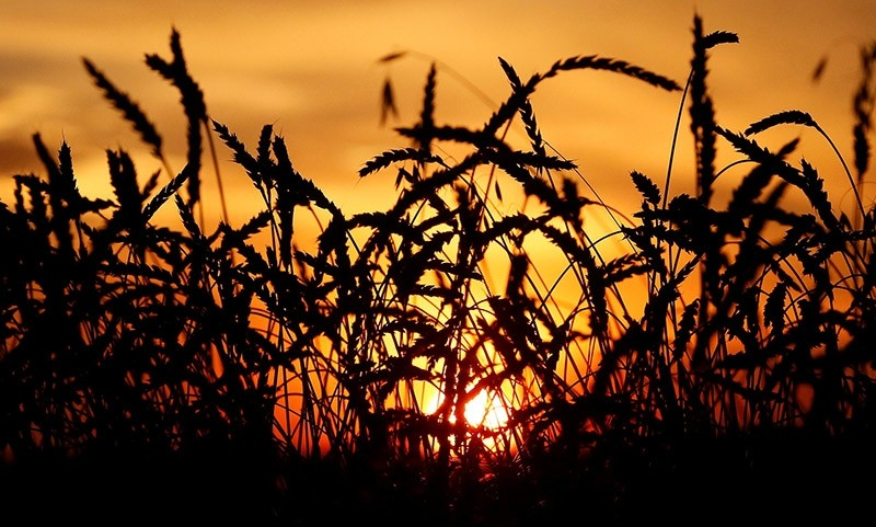 Ears of wheat are seen during sunset in a field of the Solgonskoye farming company in the village of Solgon, southwest of Krasnoyarsk, Sept. 6, 2014. (Reuters Photo)