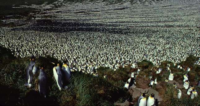 Photo taken in 1982 shows a two-million-strong king penguin colony on Ile aux Cochon. (AFP Photo)