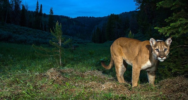 Colorado mother saves 5-year-old son from mountain lion attack