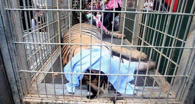 Thai officials discover 40 dead tiger cubs in freezer at controversial Buddhist temple