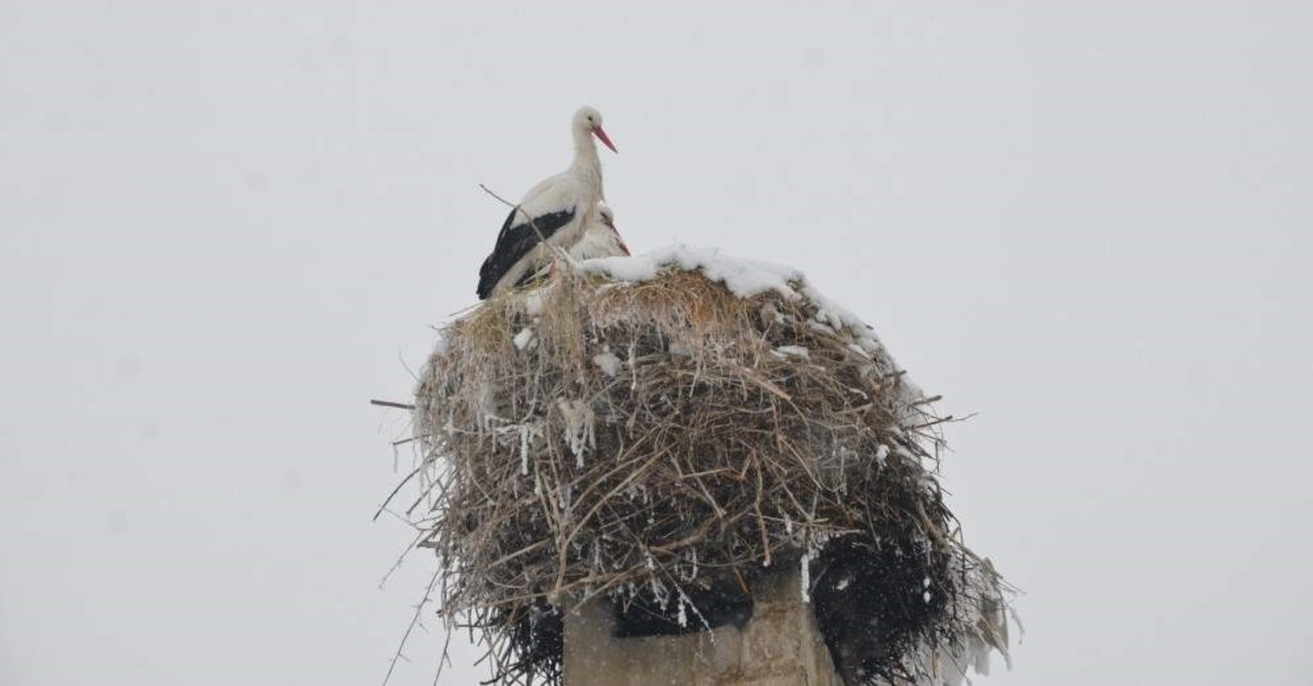The two storks have not migrated this year. (AA Photo)