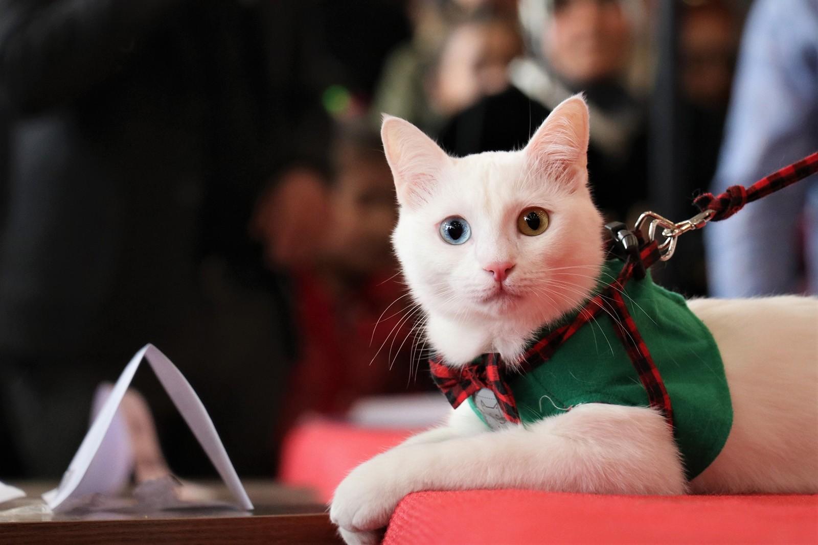 Van Cat Beauty Contest 2019