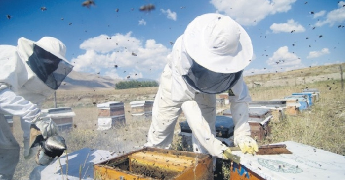The nomadic beekeepers put on protective gear and use bee smokers to remove the  honeycombs from the hives.