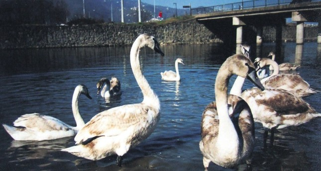 Swans, affected badly due to climate change and pollution in the Black Sea region, in Ordu province at the Black Sea coast. In the past year, swans migrating to many Black Sea cities, including Ordu, was very low.