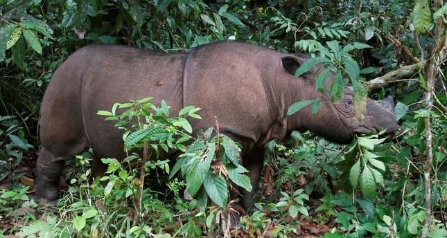 Ratu, a female Sumatran Rhinoceros, is seen at the Sumatran Rhino Sanctuary in the Way Kambas National Park, Lampung province, May 20, 2010. (Reuters Photo)