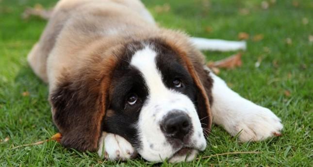 Saint Bernard Puppy Dog. Image shot 2010. Exact date unknown. (ALAMY Photo)