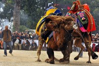 Camel wrestling season kicks off in Turkey