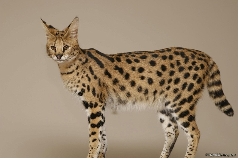 The African Serval cat (Sabah File Photo)