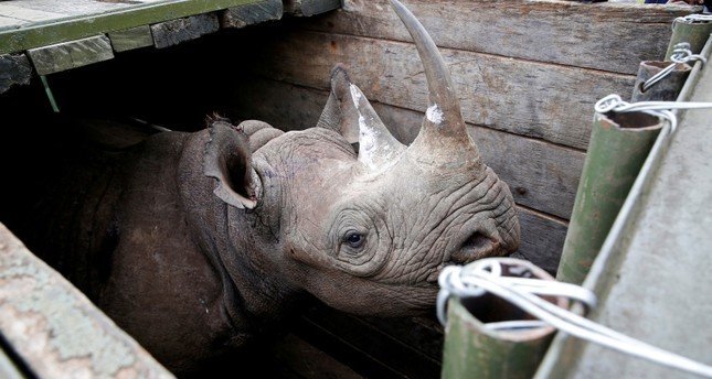 A female black Rhino stands in a box before being transported during rhino translocation exercise In the Nairobi National Park, Kenya, June 26, 2018. (REUTERS Photo)
