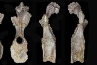 Британские палеонтологи обнаружили останки самого древнего стегозавра в мире