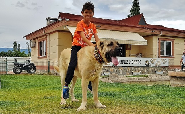 Turkey's giant malaklı dogs offer protection to the world