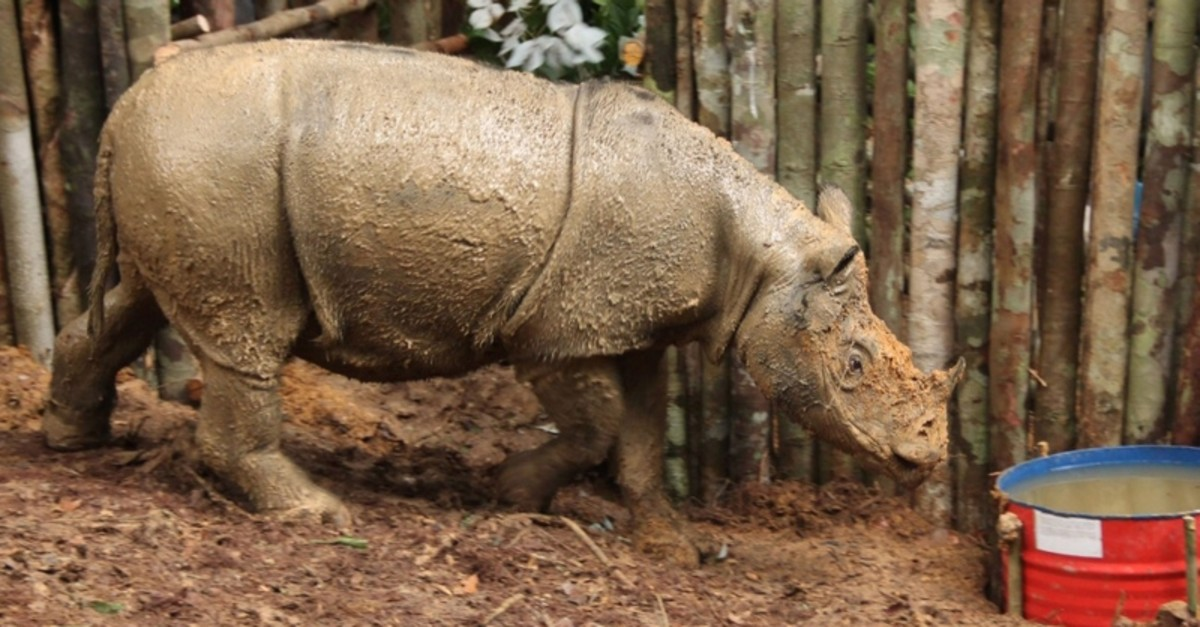 This undated handout photo released by the World Wildlife Fund (WWF-Indonesia) on March 23, 2016 shows a Sumatran rhino at a sanctuary in Kutai, East Kalimantan (AFP File Photo)