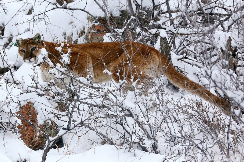 A mountain lion makes its way through fresh snow in the foothills outside of Golden, Colorado (Reuters File Photo)