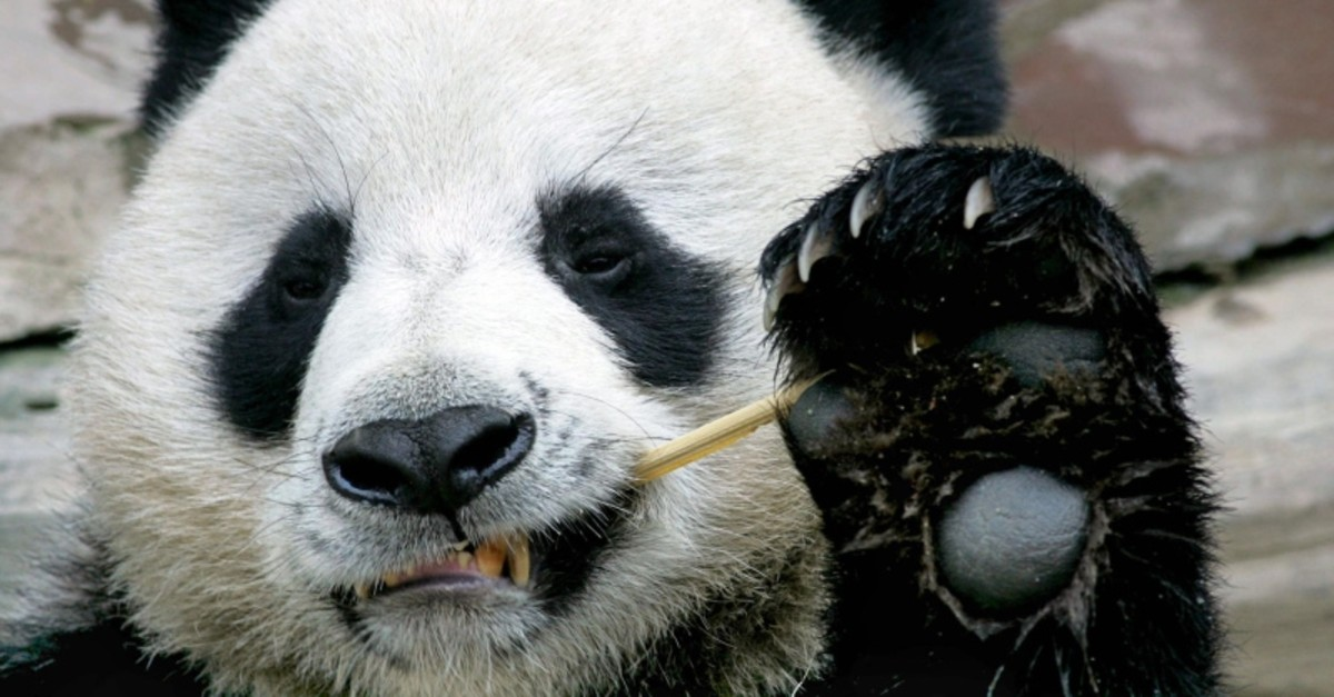 This Sept. 3, 2005, file photo, shows Chuang Chuang, a giant panda on loan to Thailand from China, eating bamboo at the Chiang Mai Zoo in northern Thailand. (AFP Photo)