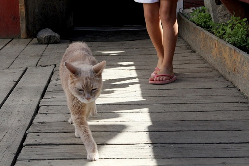 In a May 29, 2016 file photo, Stubbs, the honorary feline mayor of Talkeetna, Alaska, walks out of the West Rib Bar and Grill. (AP Photo)