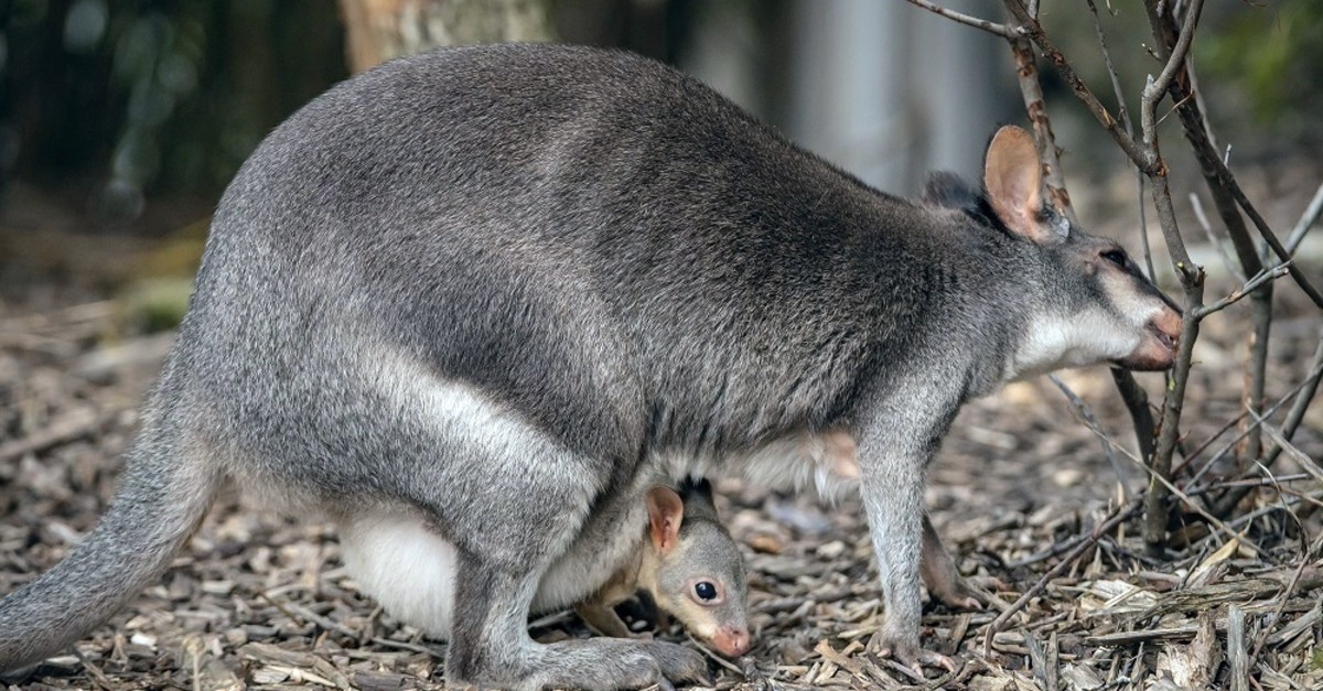 A dusky pademelon, which is among the species with declining population, at Chester Zoo, the U.K.