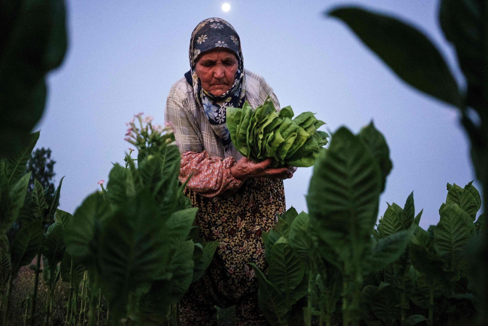 A woman collects tobacco leaves near the village of Kukuryak southeast of the Bulgarian capital Sofia.