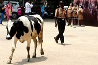 Rise of India's 'cow politics'