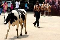 Rise of India's 'cow politics'