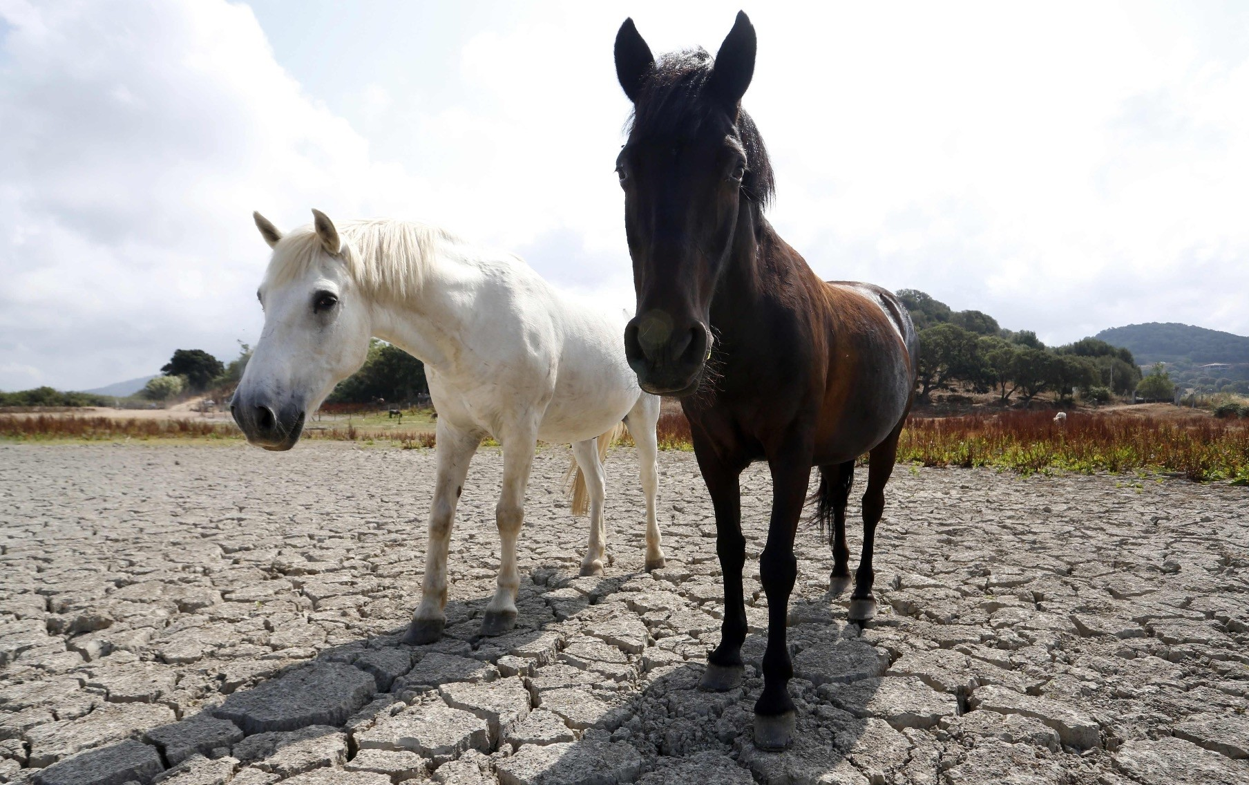 Horses stand on a dry field in Bastelicaccia, a few kilometers from Ajaccio, on the French Mediterranean island of Corsica.The drought during the summer of 2018 has taken a toll among the northern European countries, which produce milk.