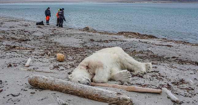 A dead polar bear lays at the beach at Sjuøyane north of Spitzbergen, Norway, on July 28, 2018. (AFP Photo)