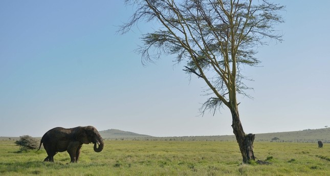 This file photo taken on May 21, 2015 shows an elephant at the Lewa Wildlife Conservancy at the foot of Mount Kenya, approximately 300 km north of the capital Nairobi. (AFP Photo)