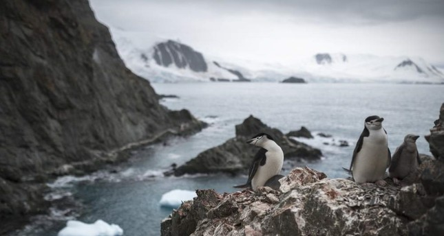 A handout photo made available by Greenpeace shows a group of chinstrap penguins on Elephant Island, Antarctica on Feb. 11, 2020. EPA