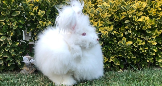 Angora rabbit can grow hair up to 40 centimeters.