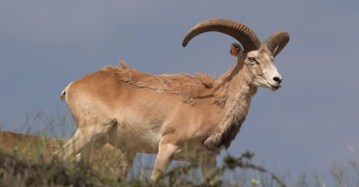 Anatolian wild sheep, also known as mouflon.