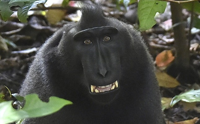 Indonesia's 'selfie monkey' threatened by hunters for its meat