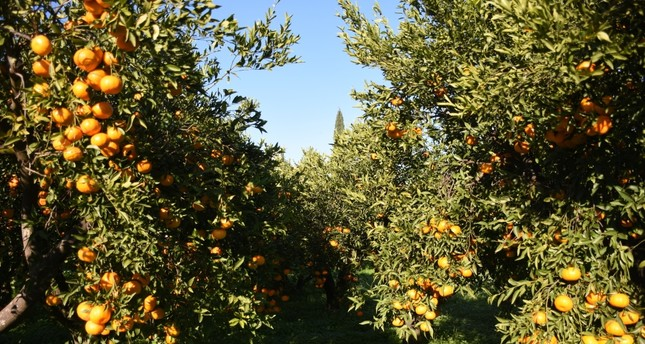 Bodrum's famous mandarins ready to harvest.