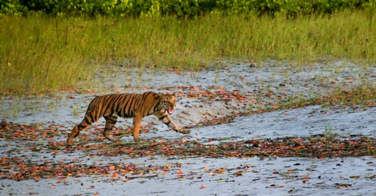 In this Wednesday, March 19, 2014, photo,  a Royal Bengal tiger prowls in Sunderbans, at the Sunderban delta, about 130 kilometers (81 miles) south of Calcutta, India. (AP Photo)